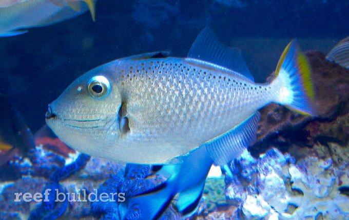 christmas island triggerfish