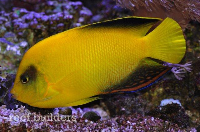 Black And Yellow Angelfish Yellow angelfish