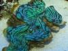 blue-squamosa-tridacna-clam-1
