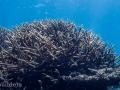 Corals of Kwajalein Atoll