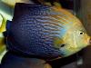 maze-angelfish-chaetodontoplus-10