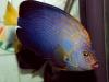 maze-angelfish-chaetodontoplus-11