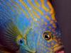 maze-angelfish-chaetodontoplus-12