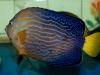 maze-angelfish-chaetodontoplus-3
