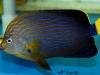 maze-angelfish-chaetodontoplus-4