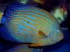 maze-angelfish-chaetodontoplus-5