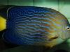 maze-angelfish-chaetodontoplus-6