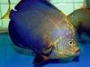 maze-angelfish-chaetodontoplus-7