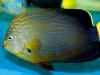 maze-angelfish-chaetodontoplus-8