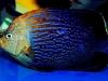maze-angelfish-chaetodontoplus-9