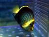 maze-angelfish-chaetodontoplus
