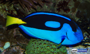 regal-blue-tang