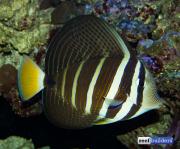 sailfin-tang