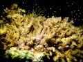Coral-Spawn-Vamizi-Mozambique-7