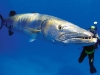 coral-sea-marine-preserve-barracuda_44383_600x450