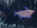 Dactylanthias-deep-sea-marianas