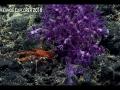 Victogorgia-Munida belior squat lobster,
