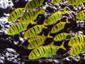 golden trevally.png