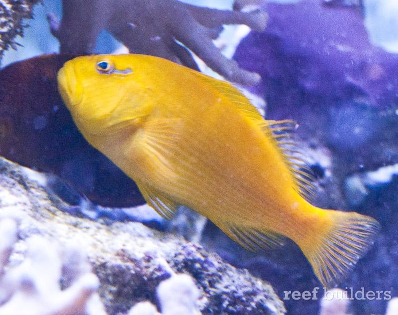 yellow-hawkfish-2
