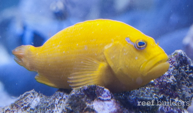 yellow-hawkfish-3