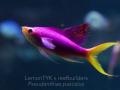 pseudanthias-pascalus-11.jpg.png