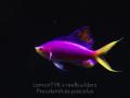 pseudanthias-pascalus-8.jpg.png
