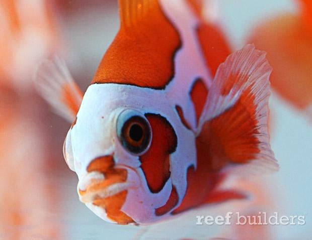 peace-keeper-maroon-clownfish-2
