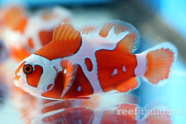 peace-keeper-maroon-clownfish-5