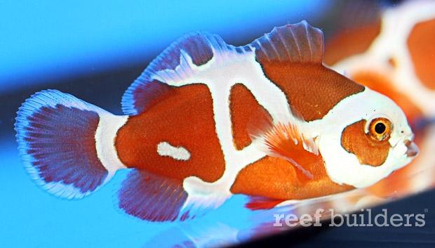 peace-keeper-maroon-clownfish