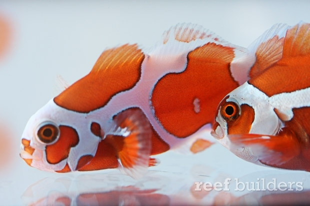 peace-keeper-maroon-clownfish-3