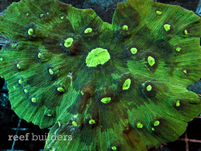 pectinia coral