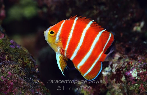Tuned In Tokyo >> The Peppermint Angelfish that won the world over - Reef ...