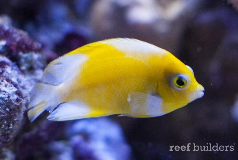 angelfish-vitiligo-centropyge-2