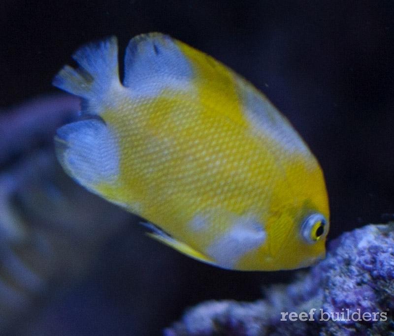 angelfish-vitiligo-centropyge-4