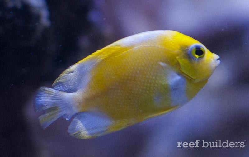 angelfish-vitiligo-centropyge