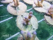 PNG SEASMART coral mariculture program 8