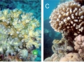 With eyes wide open: a revision of species within and closely related to the Pocillopora damicornis species complex (Scleractinia; Pocilloporidae) using morphology and genetics