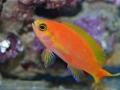 Pseudanthias calloura female 1-jpg
