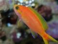 Pseudanthias calloura female-jpg