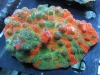 meltdown-chalice-coral-1