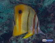 chelmon-rostratus-raja-ampat-copperband-butterflyfish-1