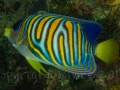 Misbar-regal-angelfish-raja-ampat