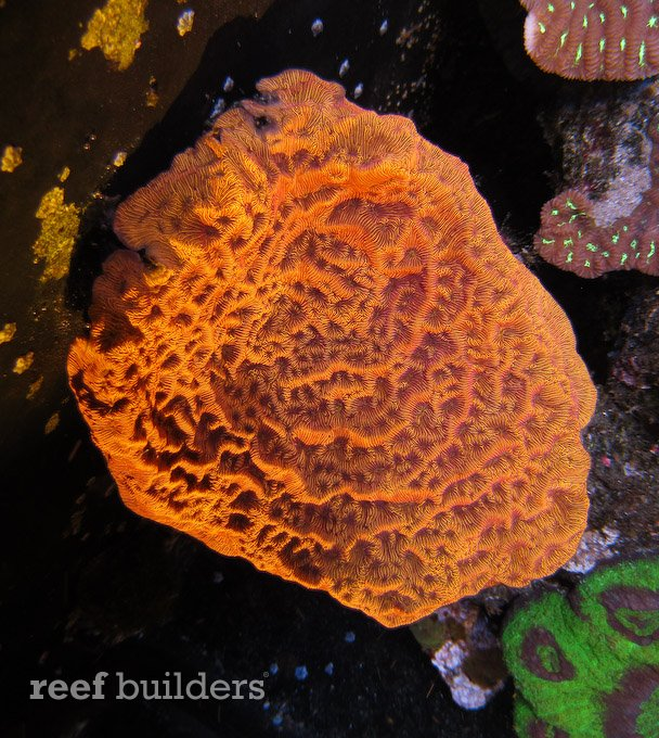 Leptoseris corals are also not the easiest to keep since too much light can easily bleach it