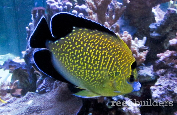 The most beautiful goldflake angelfish spotted in South Africa - Reef ...