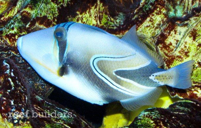Hybrid trigger fish