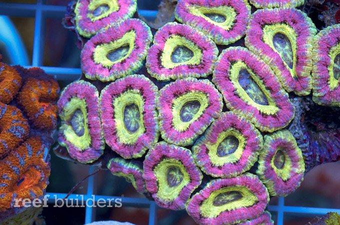 東京タルトと言う名のカクオオトゲ  Reef Builders Japanese. Pallet Ottoman. Small Bathroom Designs. Faux Brick Backsplash. Louis Xiv Furniture. Pan Rack. Master Bedroom Paint Ideas. Mossy Oak Properties. Hallway Cabinets