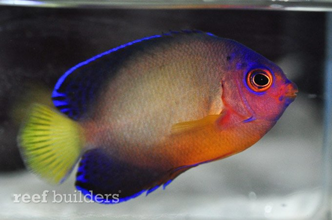 centropyge bispinosa multicolor hybrid