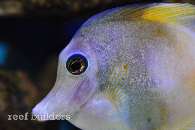zebrasoma scopasZebrasoma Scopas Yellow