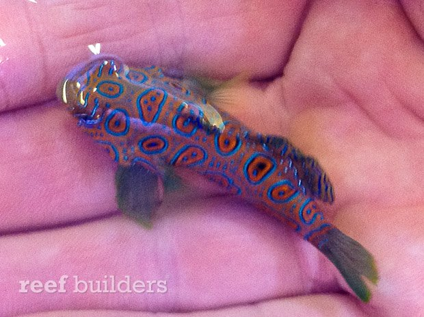 west australia dragonet