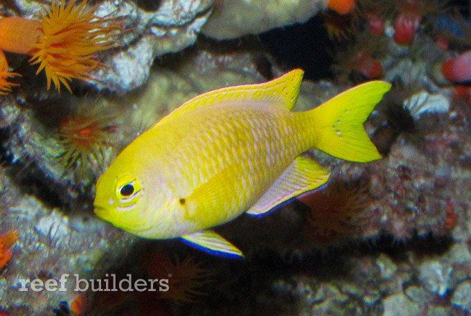 canary damselfish